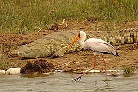 Yellow-billed stork kazinga.jpg