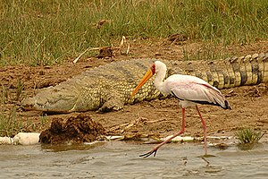 Archosaur - Birds and crocodilians (in this case a yellow-billed stork and a Nile crocodile) are the only living archosaur groups.