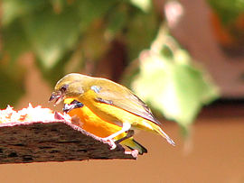 Yellow-throated Euphonia-female.jpg