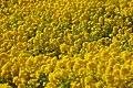Yellow - Flickr - Oyvind Solstad.jpg