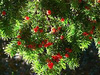 Yew Berries.jpg