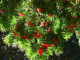 Cantabrian mythology - Yew berries. The tree may be the most representative of Cantabria and has often been planted near buildings.