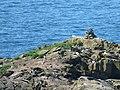 Ynys Penpleidian (island), Bae Caerfai bay, S of Tydddewi (St David's), Sir Benfro (Pembrokeshire), Cymru (Wales) 03.jpg