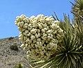 Yucca brevifolia 19.jpg