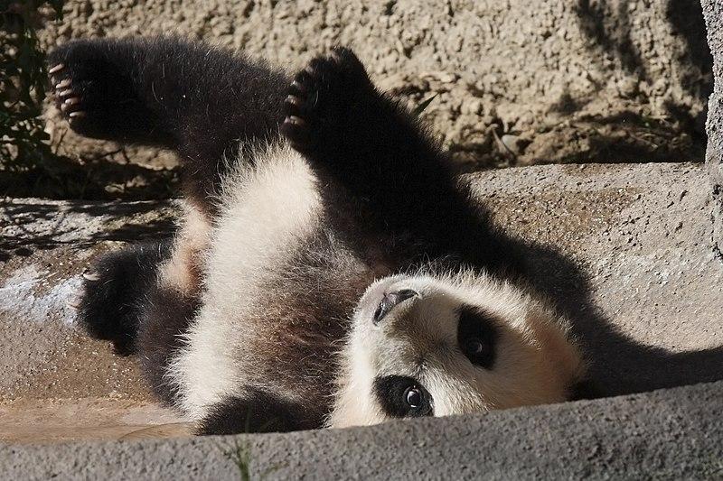 File:Yun Zi - Baby Giant Panda - IMG 1729 2 (4306258908).jpg