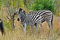 Zebra at Kruger National Park, Limpopo, South Africa (20517759416).jpg