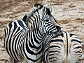 Zebras in Colchester Zoo by Keven Law.jpg