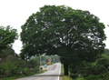 Zelkova serrata at road side.png