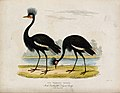 Zoological Society of London; Two crowned cranes. Coloured e Wellcome V0023122.jpg