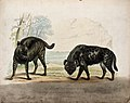Zoological Society of London; a striped and a spotted hyena. Wellcome V0023132.jpg