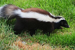 Humboldt's hog-nosed skunk - Image: Zorrillo