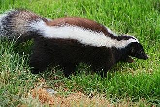 Humboldt's hog-nosed skunk - Image: Zorrillo