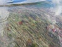Zostera nana in the Tyligul Estuary.jpg