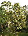'Acer pseudoplatanus' Simon-Louis Freres Capel Manor College Gardens Enfield London England.jpg
