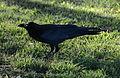 (1)crow Kensington Park 010.jpg