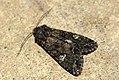 (2154) Cabbage Moth (Mamestra brassicae) (3746200649).jpg