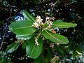 (Calophyllum inophyllum) at VUDA Park 13.JPG