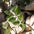 Épervière des murailles-Hieracium murorum-Feuilles-20150410.jpg