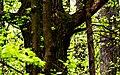 Голосіївький ліс Жовна чорна DSC 0182.jpg