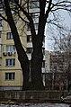 Дуб Корольова у Києві. Фото 3.jpg
