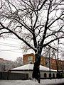 Дуб в зимових шатах.jpg