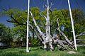 Запорозький 700-річний дуб, 2017.jpg