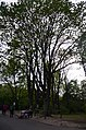Клен Казакова у ботанічному саду.jpg