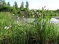 Купина пухівки піхвової (Eriophorum vaginatum L.) в заказнику Волосне.jpg