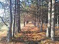 Ліс на Кінбурзі.jpg