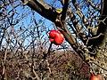 Осеннее яблоко - panoramio.jpg