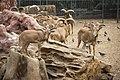حديقة الحيوانات - الضأن البربري.jpg