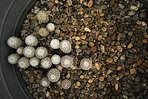 گونه های کاکتوس در گلخانه دنیای خار در قم 11.jpg