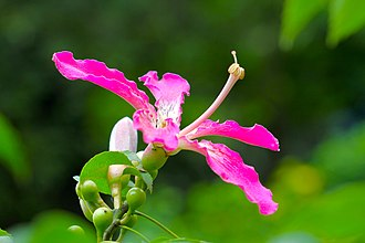 Ceiba speciosa - Image: ไหมจุรี Ceiba speciosa IMG 9303 Photographs by Peak Hora