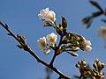 オオシマザクラ(大島桜)(Cerasus speciosa (Koidz.) H.Ohba, 1992) (7254279562).jpg