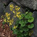 ツワブキ Farfugium japonicum.jpg