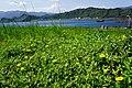 南美蟛蜞菊 Wedelia trilobata (L.) Hitchc. - panoramio.jpg