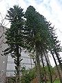 基因體中心南洋杉 - panoramio.jpg