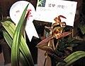 報歲武夷王 Cymbidium sinense 'Wuyi King' -香港沙田洋蘭展 Shatin Orchid Show, Hong Kong- (12235518194).jpg