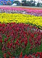富里花海 Fuli Flower Carpet - panoramio (1).jpg