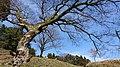 峰山陣屋跡のエノキ2.jpg