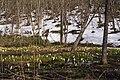 水芭蕉の森 Forest of Skunk Cabbages - panoramio.jpg