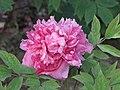 牡丹-藕絲魁 Paeonia suffruticosa -武漢東湖牡丹園 Wuhan, China- (12517022423).jpg