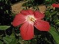 紅花香葵 Abelmoschus moschatus v tuberosus -香港大埔海濱公園 Taipo Waterfront Park, Hong Kong- (9207627646).jpg