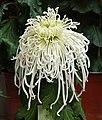 菊花-鉤環型 Chrysanthemum morifolium Curlies-tubular-series -上海共青森林公園 Shanghai, China- (9240223312).jpg