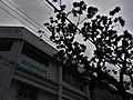 那覇市嘉手川ビル前の街路樹 - panoramio.jpg
