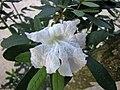 黃鐘木屬 Tabebuia bahamensis -新加坡濱海灣花園 Gardens by the Bay, Singapore- (24994090156).jpg
