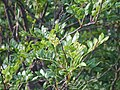 산초나무 잎가지와 꽃차례.JPG