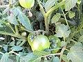 -2018-07-13 Fruit on Varity 'Sub Arctic Plenty' Tomato Plants, Trimingham (1).JPG