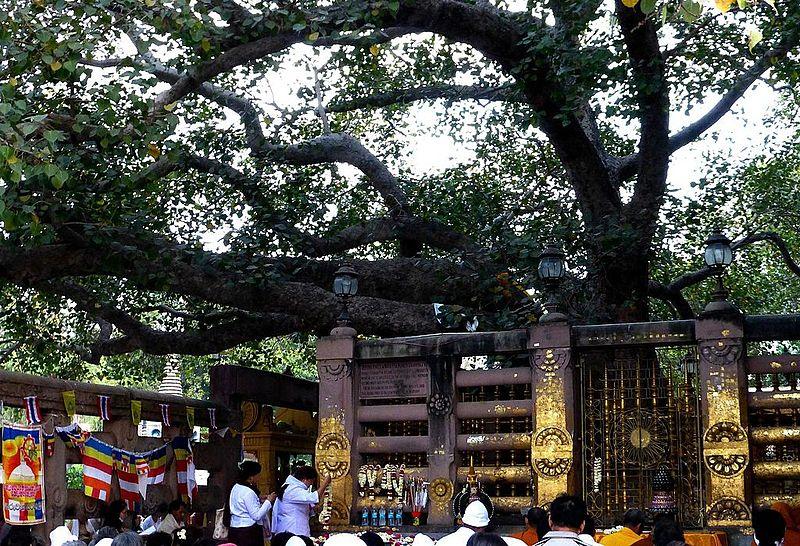 Bestand:018 Bodhi Tree (9219396225).jpg