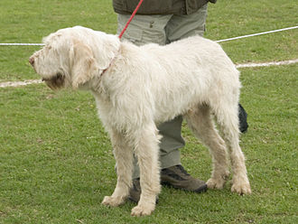 Spinone Italiano - Solid white.